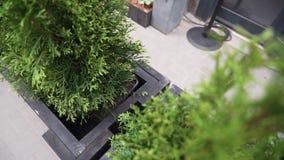 在有黑木制框架的黑暗的罐投入的逗人喜爱的绿色具球果植物看法  股票视频