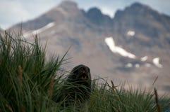 在朊毒体海岛上的海狗 免版税库存图片