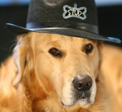 在服装帽子的金毛猎犬 免版税库存照片