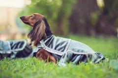 在服装的布朗达克斯猎犬在公园 免版税库存照片