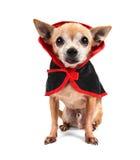在服装的逗人喜爱的奇瓦瓦狗 免版税图库摄影