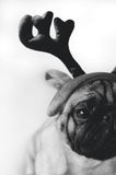 在服装的黑白哈巴狗 库存照片