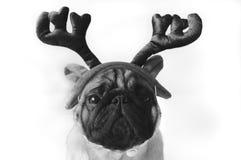 在服装的黑白哈巴狗 免版税库存照片