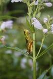 在服从的植物的蚂蚱 图库摄影