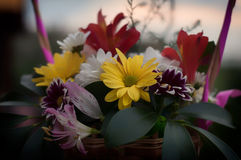 在木书桌摄影的菊花花束 免版税库存照片