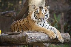 在木休息的孟加拉老虎 库存图片