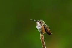 在木兰分支栖息的蜂鸟 免版税图库摄影