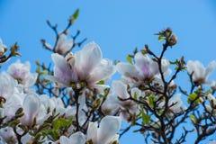 在木兰树的顶面花 免版税库存照片