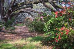 在木兰种植园SC的杜娟花行 免版税库存图片