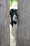 在木农厂笼子的一只山羊 库存照片