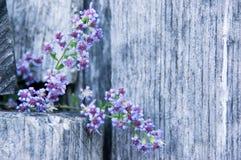 在木农厂篱芭II的翠菊Cordifolius 免版税库存图片