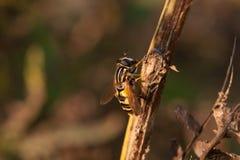 在木分支的野生蜂在阳光下 免版税图库摄影