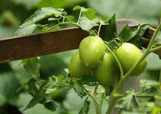 在木制支撑附近被包裹的生长未成熟的蕃茄 库存照片