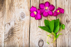 在木土气背景的紫色铁线莲属花 库存图片