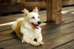 在木地板上的狗 库存照片