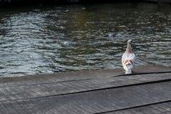 在木地板上的白色鸽子 免版税库存图片