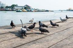 在木地板上的鸽子 库存图片