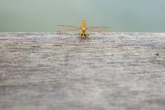 在木地板上的蜻蜓 顶视图 免版税库存图片