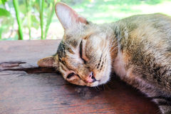 在木地板和迷离背景上的泰国猫 库存图片