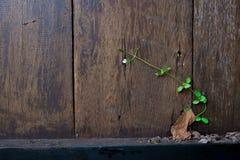 在木墙壁上的常春藤 使用当自然背景 库存照片
