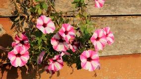 在木墙壁上的开花的五颜六色的喇叭花 免版税图库摄影