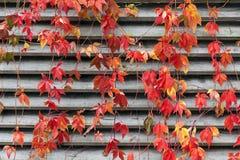 在木墙壁上的红色爬行物秋天 免版税库存图片