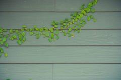 在木墙壁上的绿色常春藤成长在外部大厦 库存照片