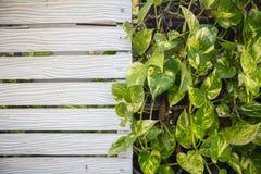 在木墙壁上的绿色植物 免版税库存图片
