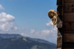 在木墙壁和自然木屋顶backgrou上的老山羊头骨 免版税库存照片