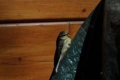 在木墙壁的背景的小鸟 花鸡小鸡 哺养从地面的共同的母花鸡 ?? ?? 库存图片
