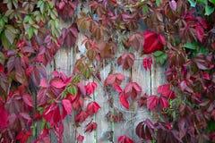 在木墙壁,背景上的红色紫色秋叶 免版税库存图片