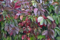 在木墙壁,背景上的红色紫色秋叶 图库摄影