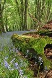 在木头的会开蓝色钟形花的草在Duloe附近 免版税库存图片