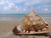 在木头的大贝壳由海 库存照片