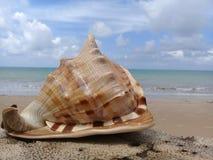 在木头的大贝壳由海 免版税库存图片
