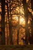 在木头的小鹿大型装配架在日出 免版税图库摄影