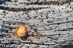 在木头的昆虫茧 免版税库存图片