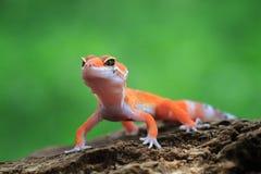 在木头的橙色gacko特写镜头 免版税库存照片