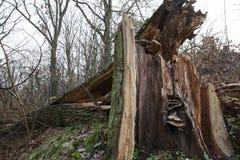 在木头的死的树 免版税图库摄影