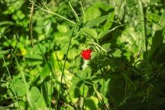 在木头的红色野草莓 免版税库存照片