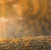 在木头的红色antor黄色蚂蚁 免版税库存图片