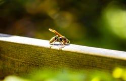 在木头的纸质黄蜂在庭院里 库存照片