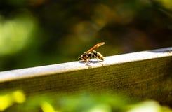 在木头的纸质黄蜂在庭院里 免版税库存照片
