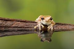 在木头的被反射的亚马逊牛奶青蛙 库存照片