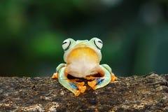 在木头的飞行的青蛙,javan雨蛙,雨蛙 免版税库存照片