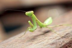 在木宏指令的螳螂 免版税库存图片