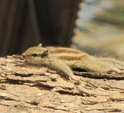 在木日志的印地安灰鼠 库存照片