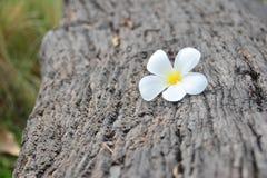 在木日志的白色和黄色羽毛花 免版税库存照片