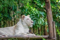 在木材的白色狮子 免版税库存图片