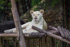 在木材的白色狮子 免版税库存照片